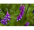 Семена вики озимой - Саженцы, растения в Краснодаре