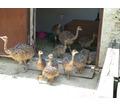 Страусята - Сельхоз животные в Тихорецке