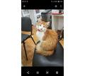 ПОТЕРЯЛСЯ СЛЕПОЙ РЫЖИЙ КОТ ЛЕО - Кошки в Новороссийске