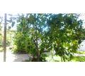 Лимонное дерево - Саженцы, растения в Краснодарском Крае