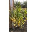 Кизильник блестящий - Саженцы, растения в Краснодаре