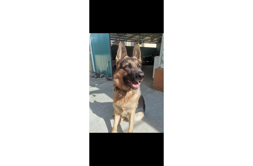 Потерялся пес, Немецкая овчарка - Бюро находок в Анапе