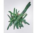 Gasteria bicolor комнатное растение - Саженцы, растения в Краснодаре