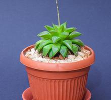 Haworthia retusa комнатное растение - Саженцы, растения в Краснодаре