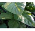 семена табака и махорки - Саженцы, растения в Краснодаре