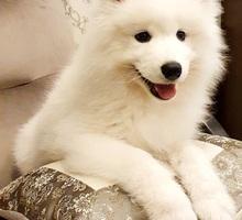 Шикарные щенки самоеды - Собаки в Лабинске