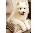 Шикарные щенки самоеды - Собаки в Краснодарском Крае