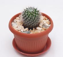Кактусы и другие суккуленты - Саженцы, растения в Краснодаре