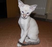 Ориентальный котенок - Кошки в Краснодарском Крае