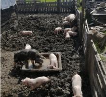 Поросята ландрас - Сельхоз животные в Краснодаре