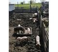 Поросята ландрас - Сельхоз животные в Краснодарском Крае