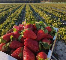 Бригада на сбор ягод - Сельское хозяйство, агробизнес в Новороссийске