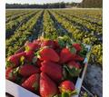 Бригада на сбор ягод - Сельское хозяйство, агробизнес в Краснодарском Крае