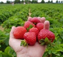 на подработку собирать клубнику - Сельское хозяйство, агробизнес в Краснодаре