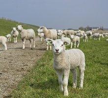 Ягнята мясных пород живым весом. - Сельхоз животные в Тихорецке