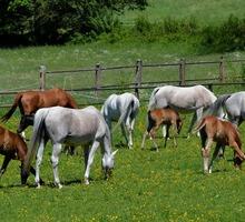 Лошади и жеребята от производителя. - Сельхоз животные в Ейске