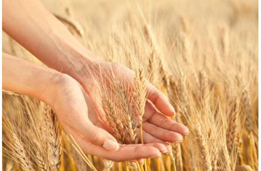 Семена озимой пшеницы среднепоздний сорт Юка - Саженцы, растения в Краснодаре