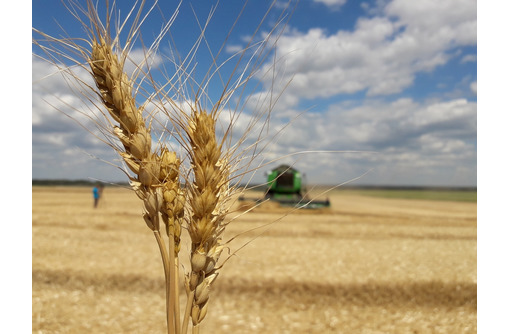 Семена озимой пшеницы скороспелый сорт Еланчик - Саженцы, растения в Краснодаре