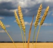 Семена озимой пшеницы среднеранний сорт Безостая-100 - Саженцы, растения в Краснодаре
