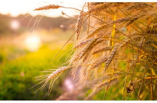 Семена озимой пшеницы среднеспелые сорта Алексеич, Ахмат - Саженцы, растения в Краснодаре