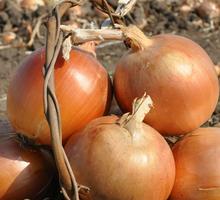 Лук репчатый оптом +5 от производителя! - Эко-продукты, фрукты, овощи в Геленджике