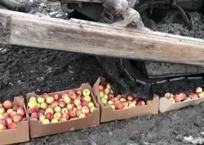 В Кропоткине уничтожили 467 кг санкционных яблок из Польши, фото — «Рекламы Кропоткина»
