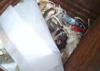 Двух енотов случайно обнаружили апшеронцы в одном из мусорных баков, фото — «Рекламы Апшеронска»