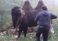 В лесу Крымского района заблудился пастух с табуном верблюдов, фото — «Рекламы Крымска»