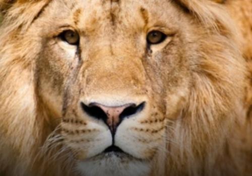 В сафари-парке Геленджика лев напал на посетителей ВИДЕО