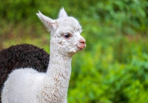 В сафари-парке в Геленджике родился детеныш альпаки