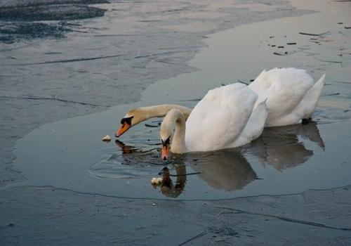 В Белореченском районе из ледяной ловушки спасли двух лебедей ФОТО