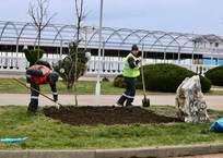 В Геленджике к началу сезона вместо засохших деревьев высадят голубые кедры, фото — «Рекламы Краснодарского Края»