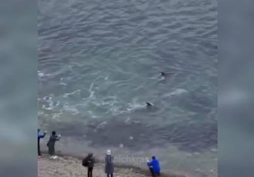 Очевидцы засняли «знатную охоту» дельфинов у берегов Анапы ВИДЕО