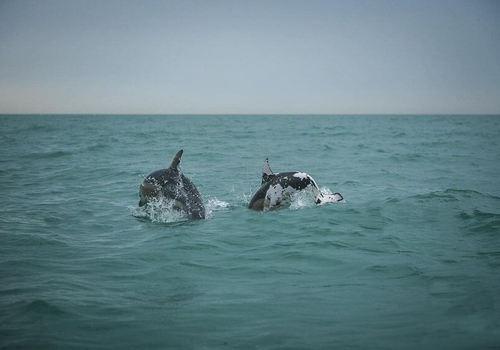 На Кубани в море заметили пятнистого дельфина