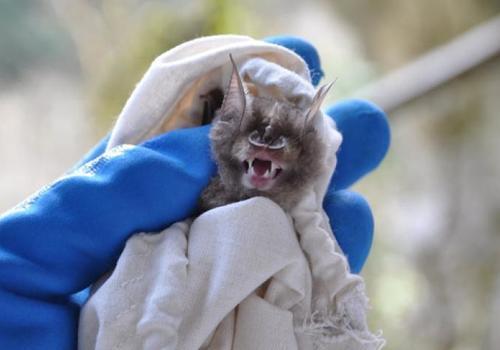 У летучих мышей в пещерах Кубани обнаружили потенциально опасные новые коронавирусы