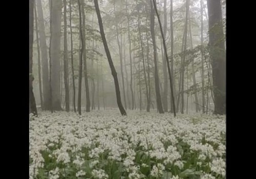 Белоснежные поля цветущей черемши в Краснодарском крае восхитили пользователей Сети ВИДЕО