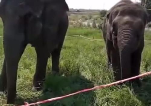 На заправке в Краснодарском крае на видео сняли пасущихся слонов ВИДЕО