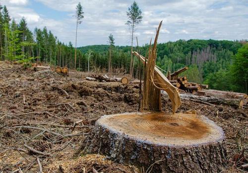 Целая роща реликтовых деревьев была уничтожена в Туапсинском районе