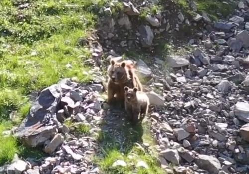В горах Адлера сняли бурую маму с ребенком ВИДЕО