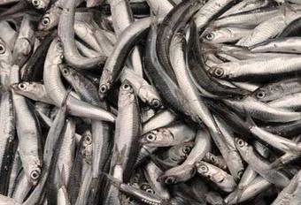 Рыба на Кубани - КРК ИП Захарчук «Керченская рыбная компания», только качественная продукция!