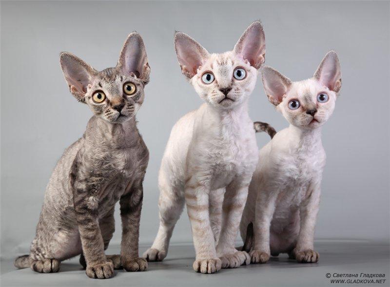 Самые дорогие породы кошек. Топ-18 (ФОТО)