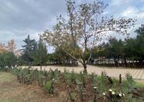 Омолаживающая обрезка хвойников в парке Победы приостановлена из-за возмущений севастопольцев, фото — «Рекламы Севастополя»