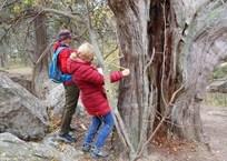 В Севастополе нашли самое старое в России дерево, фото — «Рекламы Севастополя»