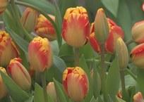 Цветоводы Севастополя готовы к 8 марта ВИДЕО, фото — «Рекламы Севастополя»