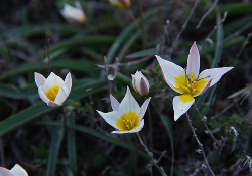 Необычные дикие тюльпаны расцвели в Крыму