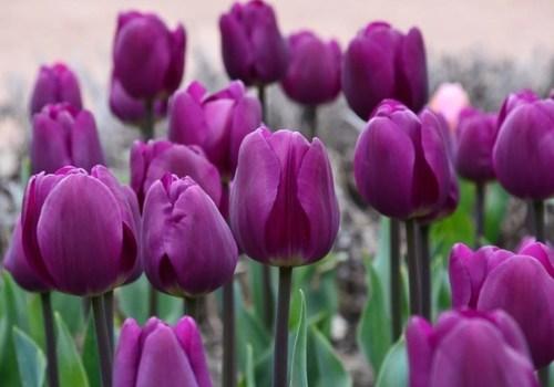Фотофакт: В Крыму стартовал Парад тюльпанов