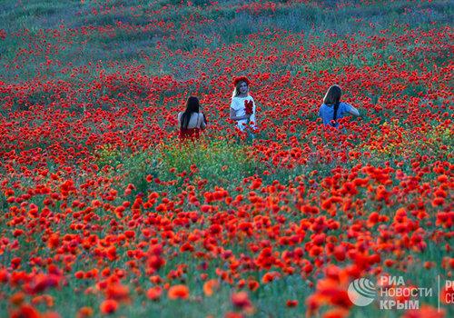 Цветущие маки в Крыму: видео ярких полей уходящего мая