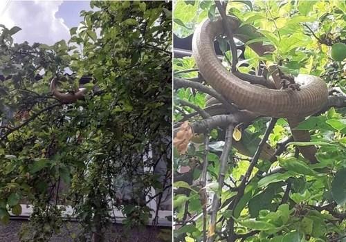 «Кормлю змея колбасой»: В Ялте на деревьях живут пресмыкающиеся ФОТО