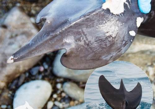 У берегов Крыма обнаружили дельфинов с хвостами-трезубцами ФОТО