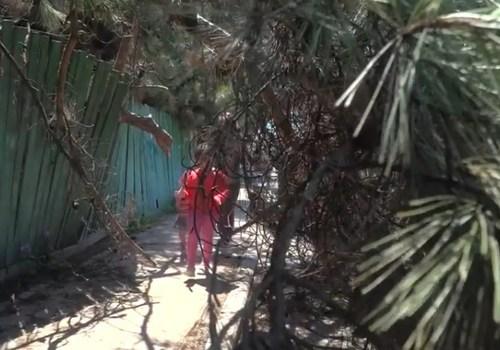 Еще одно сухое дерево упало в Севастополе ВИДЕО
